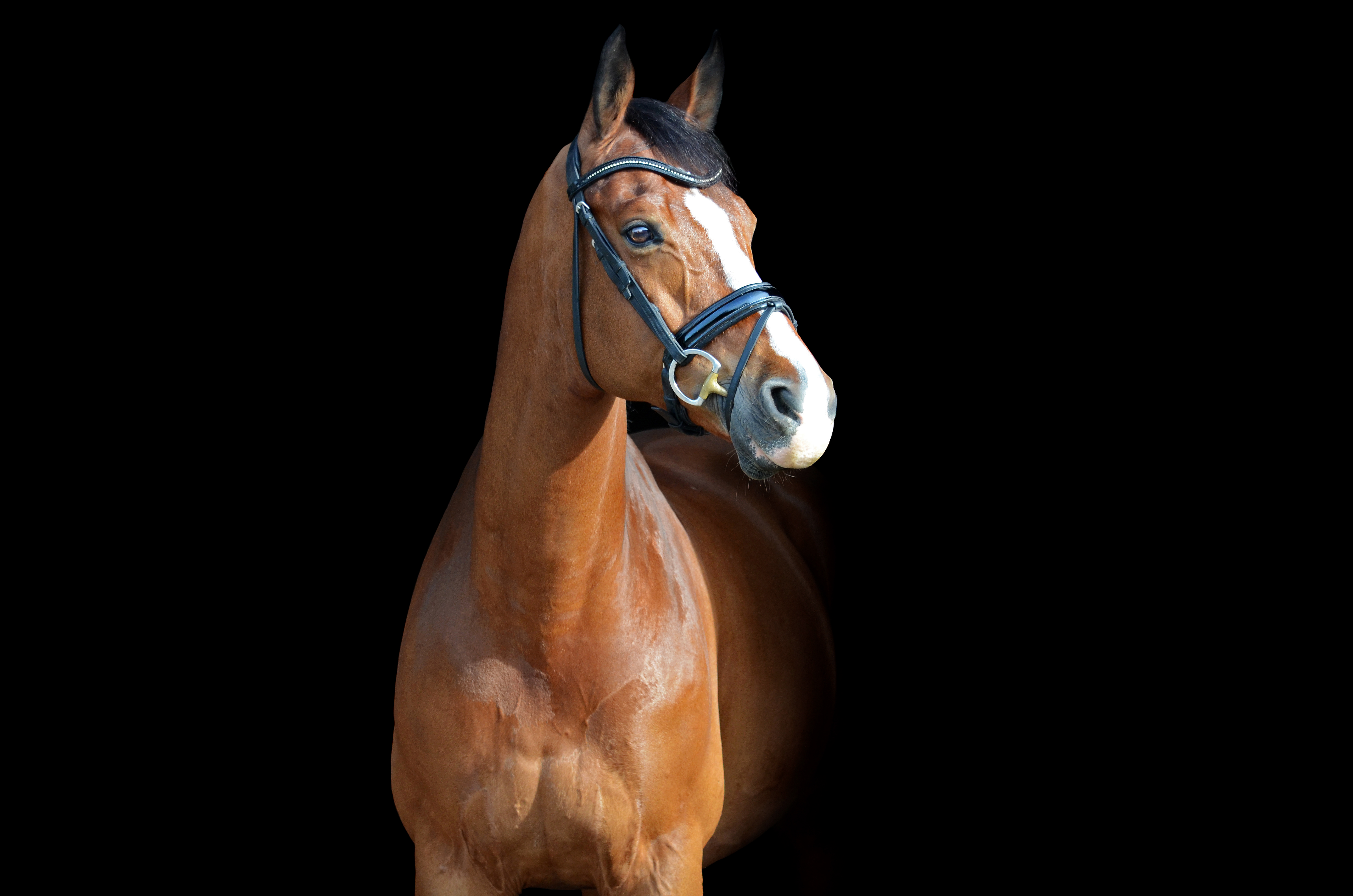 taams horses te koop